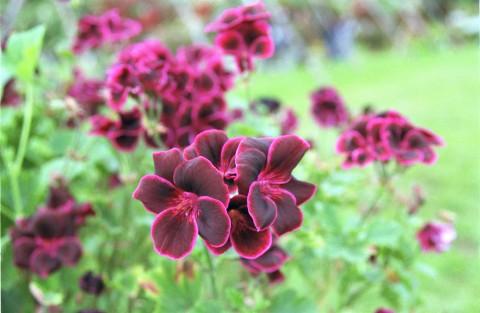Lord Bute - en vanskelig, men svært vakker pelargonium.